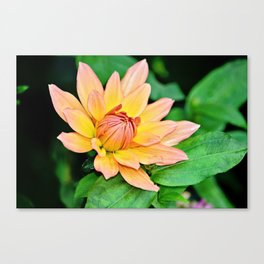 Blooming in Peach and Yellow Canvas Print