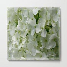 White Hydrangia Blossom Metal Print