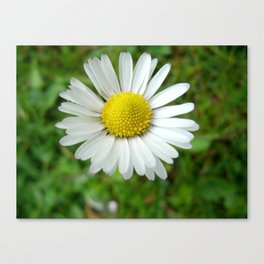White Flower Daisy Canvas Print