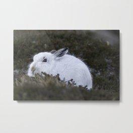 Close to wild mountain rabbit Metal Print