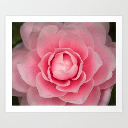 Soft Pink Camellia Art Print