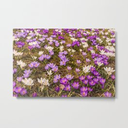 Glade of beautiful flowers crocuses Metal Print