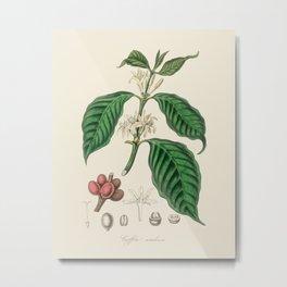 Coffee Bean Antique Botanical Illustration Metal Print