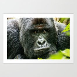 Silverback starring at you Art Print