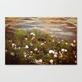 late roses Canvas Print