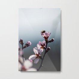 Bee feeding from an almond tree flower Metal Print