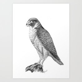 Peregrine Halcon Art Print
