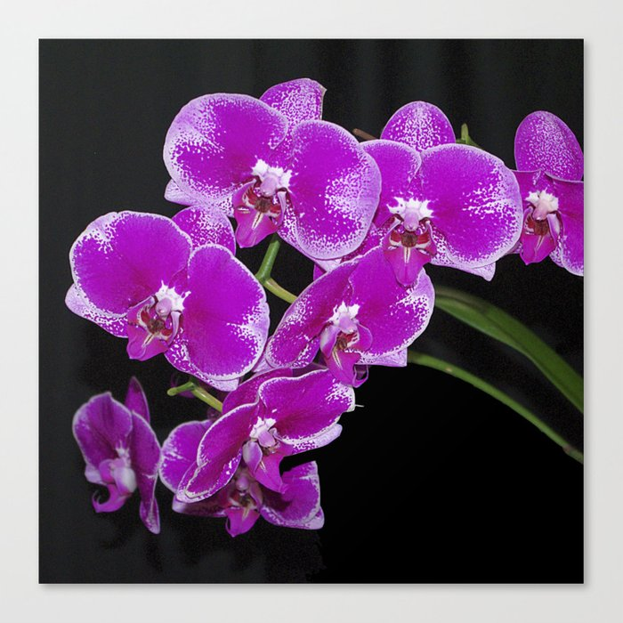 Graceful spray of deep pink orchids Canvas Print