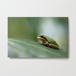 Mediterranean Tree Frog - Hyla meridionalis 8203 Metal Print