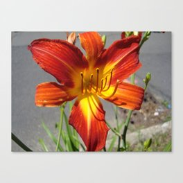 Tiger Lilly Canvas Print