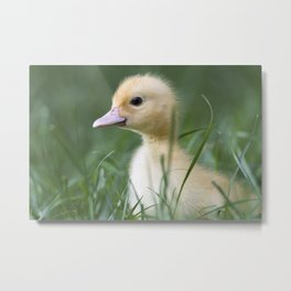 Muscovy duck's duckling on grass Metal Print