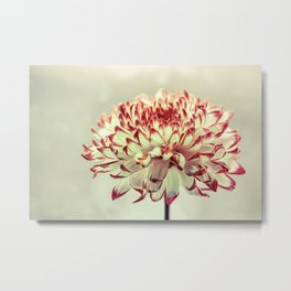 Hold onto the light - A chrysanthemum flower in window light Metal Print