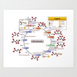 Citric Acid Cycle, TCA Cycle, Krebs Cycle Diagram Art Print