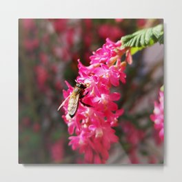 Bee2 and Blood Currant Ribes Sanguineum std Metal Print