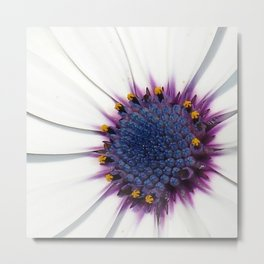 Beautiful White African Daisy Close-Up Macro  Metal Print