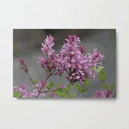 Lilac Blooms Metal Print