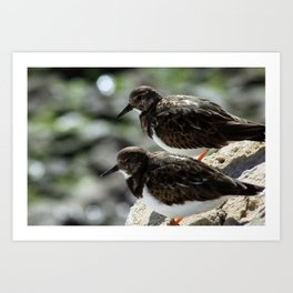 Two Sandpipers Art Print