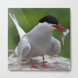 Arctic Tern with fish snack | Farne Islands, UK | Fine art bird photography Metal Print