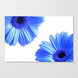 Blue Gerbera Flowers Canvas Print