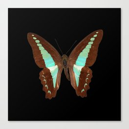 Butterfly - Graphium milon anthedon (Indonesia) Canvas Print