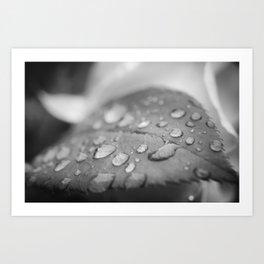 Dew on Leaf of Rose Plant - Black and White - Floral / Botanical Nature Photo Art Print