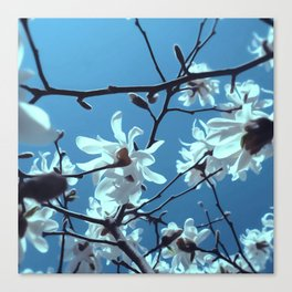 White Magnolia Bloom Blue Sky Canvas Print