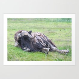Musk Ox Lazy Day Art Print