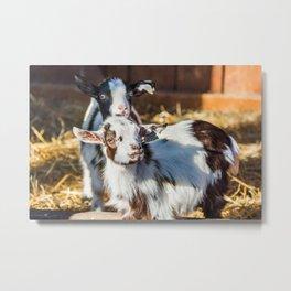 Living Treasures Animal Park - Baby Goats Metal Print