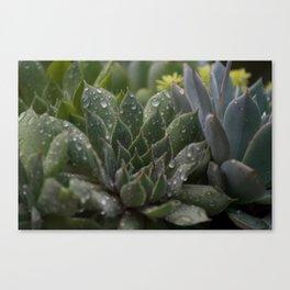 Rained on Cacti Canvas Print