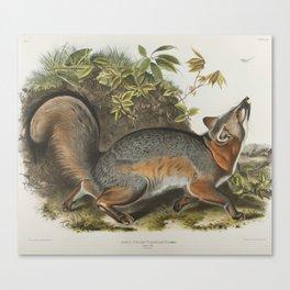Vintage Illustration of a Grey Fox (1843) Canvas Print