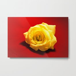 white rose on red background photo // white rose photo Metal Print