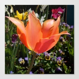 Peach Tulip in Bloom Canvas Print