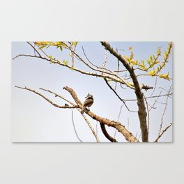 Perched Tufted Titmouse Canvas Print