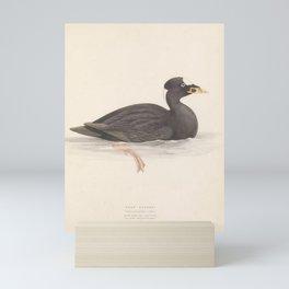 Surf Scoter, oidemia perspicillata5 Mini Art Print