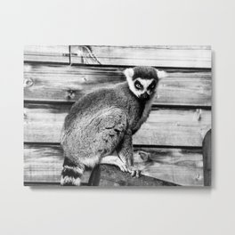 Ring Tailed Lemur - by Cheryl Gerhard Metal Print