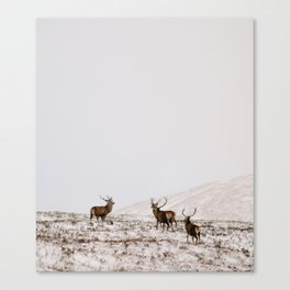 Highland Stags Canvas Print