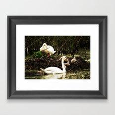 Swans and Cygnets Framed Art Print
