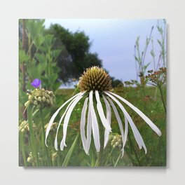 Pale (very pale!) purple coneflower, Pope Farm Conservancy prairie 7493 Metal Print