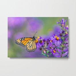 Monarch butterfly on aster purple flowers Metal Print
