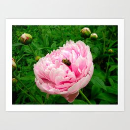 Bumble Bee on a Pink Peony Art Print