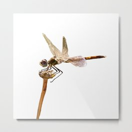 Dragonfly Resting On Seed Head Isolated Metal Print