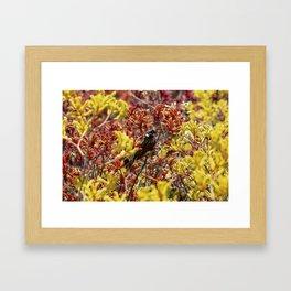 New Holland Honeyeater - Phylidonyris novaehollandiae Framed Art Print