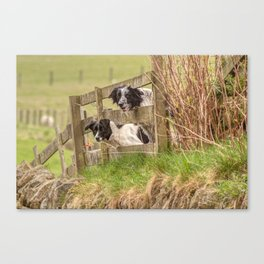 Countryside farm sheep dogs Canvas Print