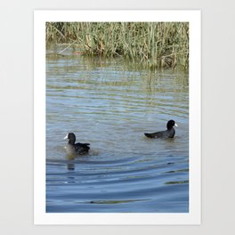 Two Coots Swimming Art Print