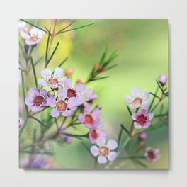 Australian native Geraldton Wax flowers Metal Print