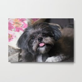 little dog with tongue out Metal Print