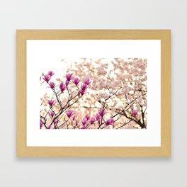 Magnolia Blooming In Japan Framed Art Print