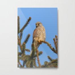 hawk sits on a tree and watching prey Metal Print