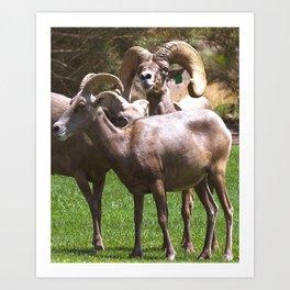 Bighorm Sheep of Nevada Art Print