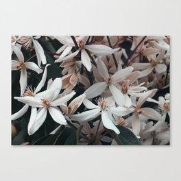 Pink Clematis Canvas Print